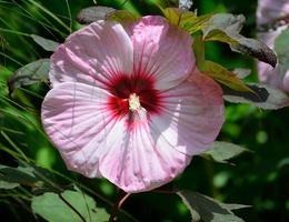 riesiger rosa Hibiskus