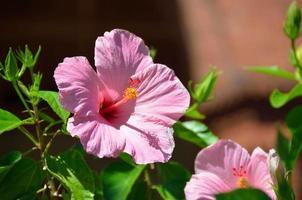 rosa Hibiskus im Garten foto