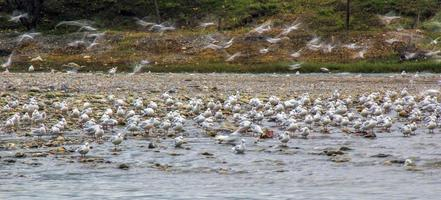 Reiher suchen im Fluss foto