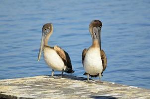 braune Pelikane auf einem Pier