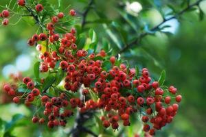 rote Früchte der Hunderose