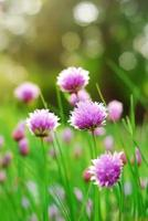 Schnittlauchblüten foto