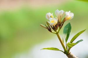 Plumeria foto