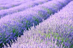 Lavendelfelder Detail foto