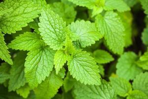 Makrofoto von grünen Brennnesselblättern foto