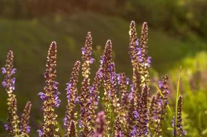 sonniger Lavendel foto