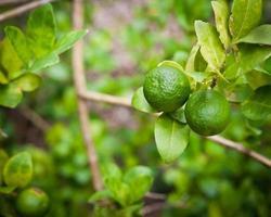 Zitronenfrucht auf Baum im Garten foto