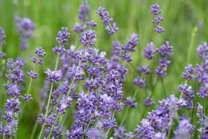 Lavendel wächst