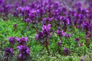 Salvia Blüte foto