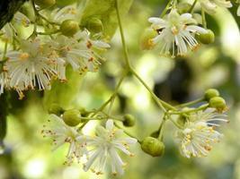 Zweig der blühenden Linde mit Tautropfen