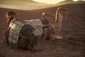Kamele im Sonnenaufgang foto