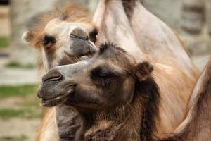 Hausbaktrisches Kamel (camelus bactrianus).