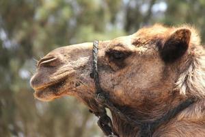 Porträt eines Kamels foto