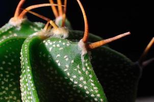 Kaktusmakro foto