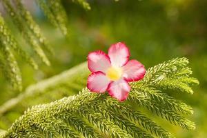 Wüstenrosenblumen auf grünen stacheligen Zweigen.