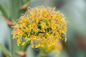 amerikanische Aloe foto