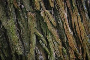 Rindenbaum Textur in der Natur foto