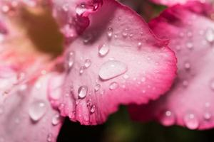 Tau auf Blütenblättern