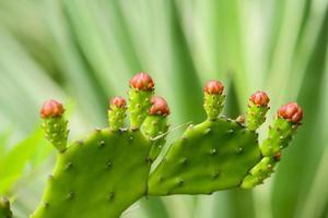 Kaktusblütenknospen