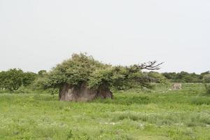 Termite in grüner Savanne, Regenzeit, Dämmerung, Etosha, Namibia foto