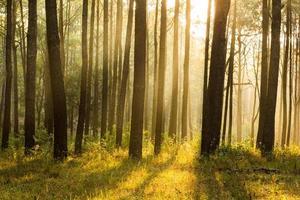 Sunray dachte Kiefernwald foto