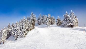 Kiefernwald mit Schnee bedeckt foto