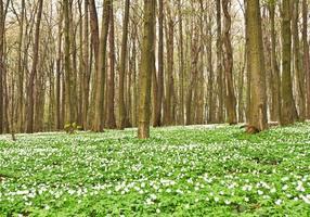 Anemone im Wald foto