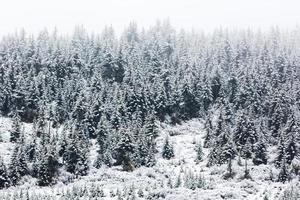 schneebedeckter Fichtenwald