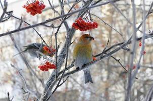 Grünfink gewöhnlicher oder Waldkanarienvogel.