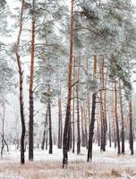 Kiefernwald mit Raureif bedeckt foto