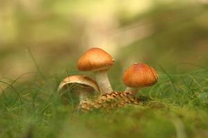 Zwillingspilz auf Moos im Wald foto