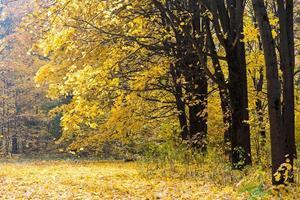 Waldlandschaft mit gelben Ahornbäumen