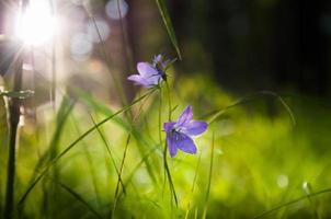 Glockenblumen im Wald bei Sonnenuntergang foto