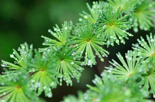 Regentropfen von Nadeln im Wald