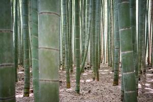 Bambuswald in Japan foto
