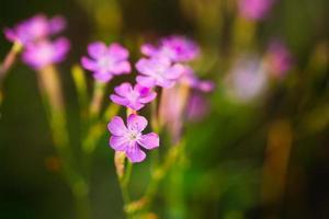 lila wilde Waldblume, russische Sommernatur