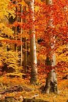Buchenwald im Herbst foto