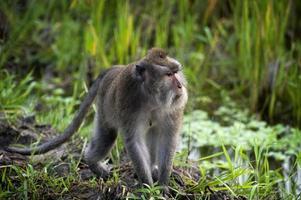 balinesische Affen foto