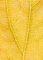 gelbes Blatt im Herbst foto