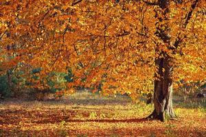 Herbstbaum im Wald foto