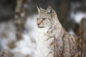 Luchs sitzt im Winterwald foto