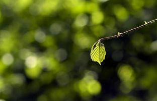 grünes Blatt auf unscharfem Waldhintergrund