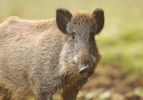 Wildschwein im Herbst foto