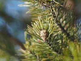 Kiefernzweig im Wald foto