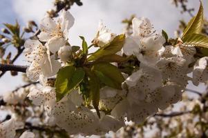 Mandelblüte foto