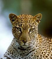 Leopardenjagd in einem Wald in Kenia