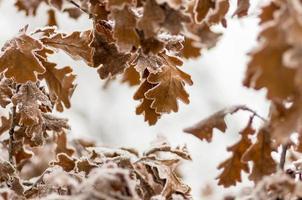 Blätter der Eiche mit Raureif im Wald foto