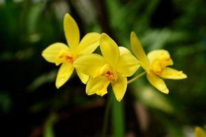 gelbe Orchideenblumen im tropischen Regenwald.