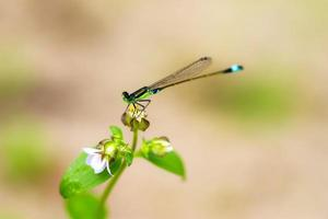 Pseudagrion apicale foto