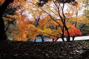 gelbe Blätter von Ginkgo bei Japan